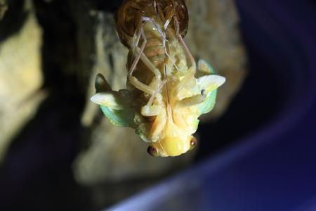 emergence: Emergence of Large Brown Cicada (Graptopsaltria nigrofuscata) in Japan