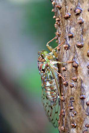 cicada bug: Evening cicada (Tanna japonensis) in Japan