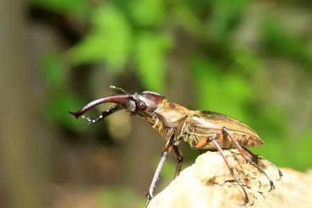 lucanus: Miyama Stag Beetle (Lucanus maculifemoratus) in Japan Stock Photo