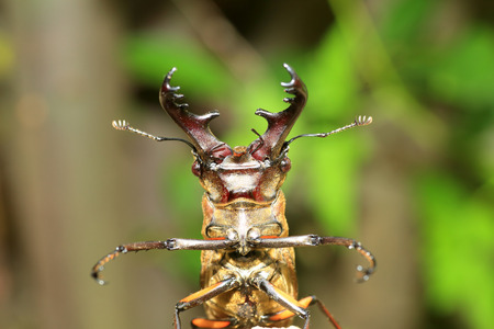 Miyama Stag Beetle (Lucanus maculifemoratus) in Japan Stock Photo
