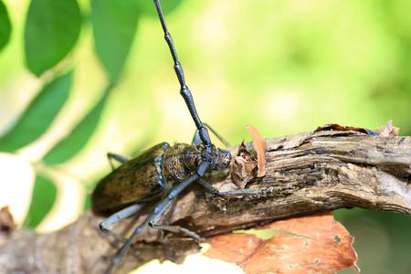 Mountain oak longhorned beetle (Massicus raddei) in Japan