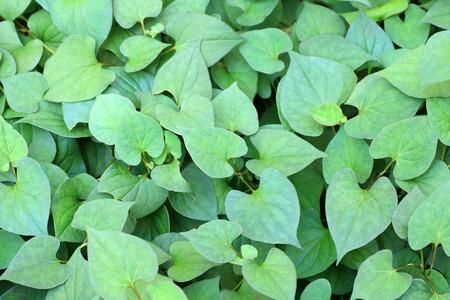 fishy: fishy-smell herb (Houttuynia cordata) in Japan Stock Photo