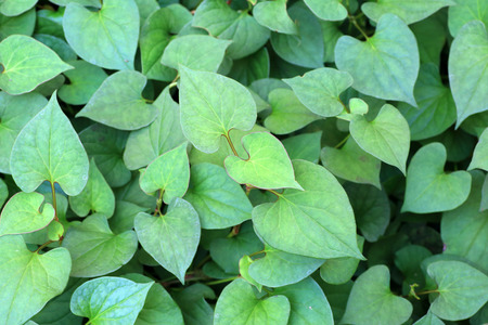 fishy-smell herb (Houttuynia cordata) in Japan Stock Photo