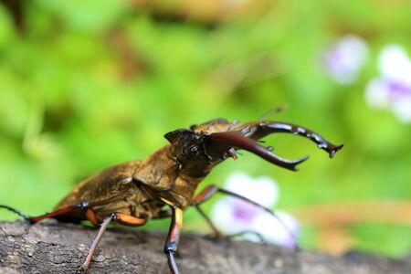 Miyama Stag Beetle (Lucanus maculifemoratus) male in Japan