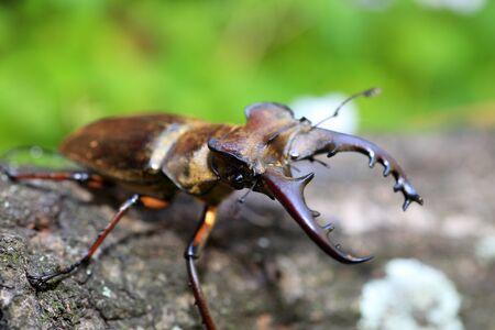 lucanus: Miyama Stag Beetle (Lucanus maculifemoatus) male in Japan