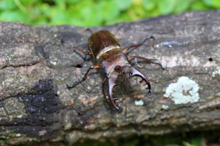 lucanus: Miyama Stag Beetle (Lucanus maculifemoratus) male in Japan