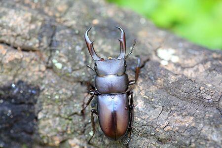 rectus: Rectus stag beetle (Dorcus rectus) in Japan