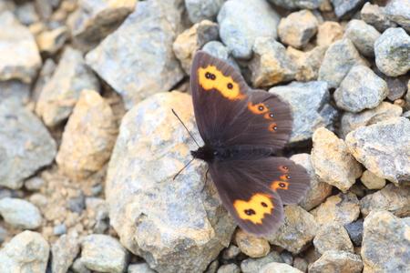kuril: Erebia niphonica butterfly in Japan