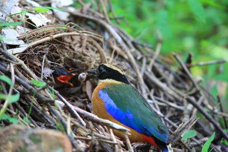 nesting: Blue-winged pitta (Pitta moluccensis) nesting in Kaengkrachan National Park, Thailand