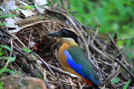 Blue-winged pitta (Pitta moluccensis) nesting in Kaengkrachan National Park, Thailand
