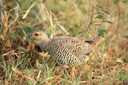 Chinese Francolin (Francolinus pintadeanus) female in Thailand Stock Photo