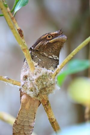 Philippine frogmouth (Batrachostomus septimus) in Rajah Sikatuna National Park, Bohol, Philippines