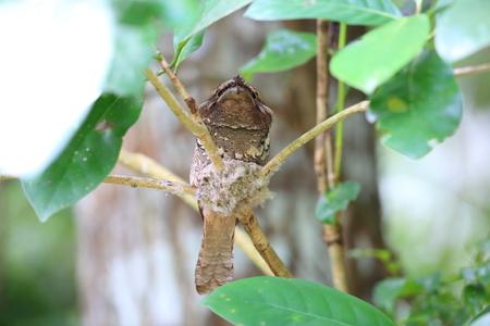 rajah: Philippine frogmouth (Batrachostomus septimus) in Rajah Sikatuna National Park, Bohol, Philippines