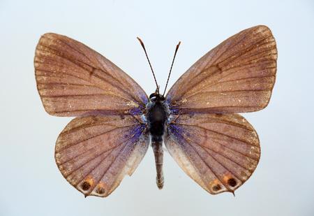 cerulean: Metallic Cerulean (Jamides alecto) specimen isolated Stock Photo