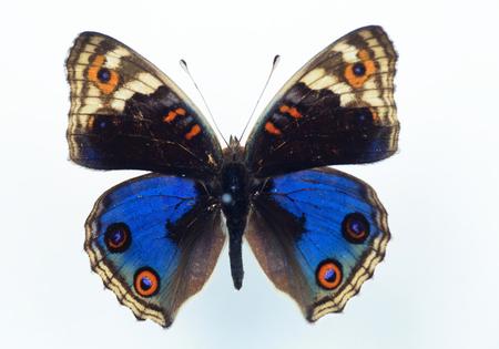 タテハチョウ科の蝶 (Junonia orithya) の標本分離 写真素材