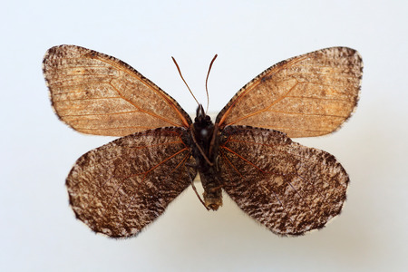 melissa: Melissa Arctic (Oeneis melissa) specimen isolated Stock Photo