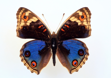 Nymphalid butterfly (Junonia orithya) specimen isolated
