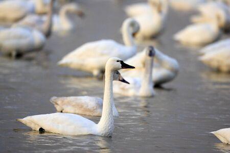 Tundra swan (Cygnus columbianus columbianus) in Japan