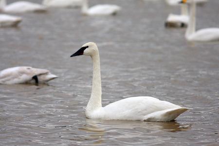 cygnus buccinator: Trumpeter swan (Cygnus buccinator) in Japan