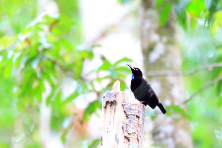 cairns: Victorias riflebird (Ptiloris victoriae) in Cairns Australia