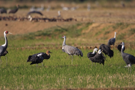 sandhill crane: Sandhill Crane (Grus canadensis) in Japan Stock Photo