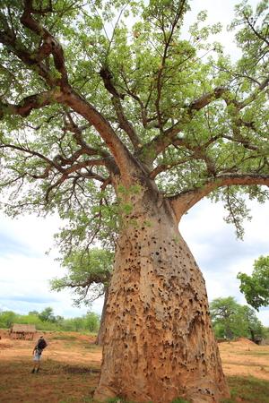 digitata: African Baobab (Adansonia digitata) in Zambia