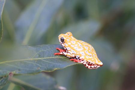 그린 리드 개구리 또는 나무 개구리
