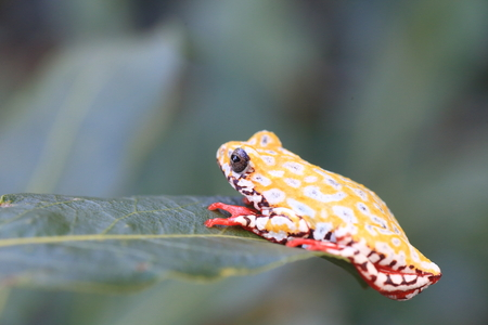 Painted Reed Frog or Spoted Tree Frog Stock Photo