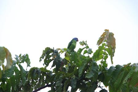 シムルエ島島のシムルエ島オウム