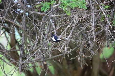 ザンビアのアーノットへのチャット (Myrmecocichla arnotti)