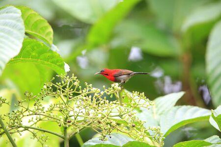 インドネシアでクリムゾン サンバード (Aethopyga siparaja)