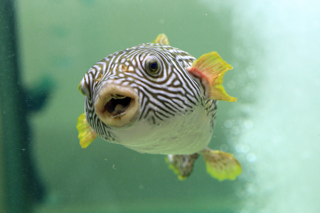 reticulated: Reticulated pufferfish (Arothron reticularis) in Japan Stock Photo