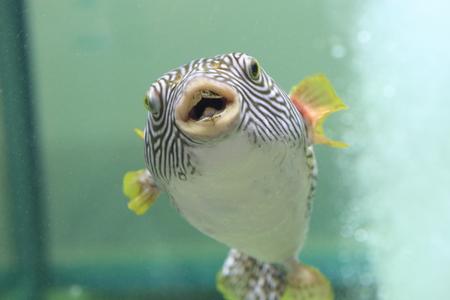Reticulated pufferfish (Arothron reticularis) in Japan Stock Photo