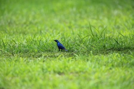 Miombo blue-eared starling (Lamprotornis elisabeth) in Zambia Stock Photo