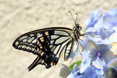 일본의 아시아 페타 (Papilio xuthus) 스톡 콘텐츠
