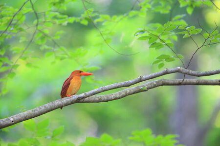Ruddy kingfisher (Halcyon coromanda) in Japan Stock Photo