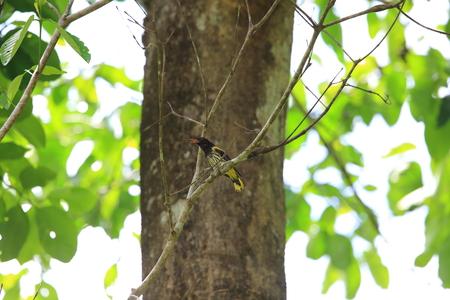 Dark-throated oriole (Oriolus xanthonotus) in Danum Valley, Sabah, Borneo, Malaysia