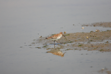 Broad-billed Sandpiper (Limicola falcinellus) in Japan Stock Photo - 82835220