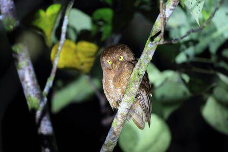 Simeulue scops owl (Otus umbra) in Simeulue island, Indonesia Stock Photo