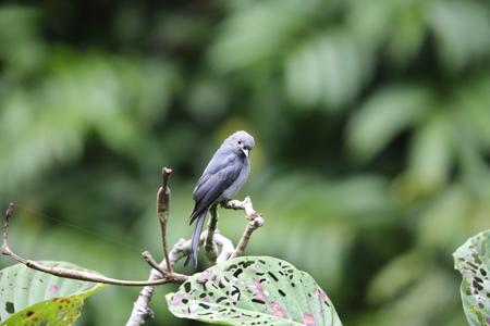 Ashy drongo (Dicrurus leucophaeus) in Mt.Kerinci, Sumatra, Indonesia