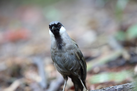 Black-throated laughingthrush (Garrulax chinensis) in Khao Yai National Park, Thailand Stock Photo