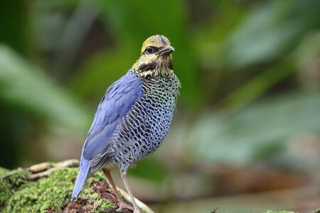 Blue pitta (Hydrornis cyaneus) in Khao Yai National Park, Thailand Stock Photo
