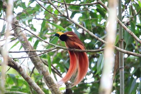 Raggiana 鳥の楽園 (Paradisaea raggiana) Varirata 国立公園, パプア ニューギニア