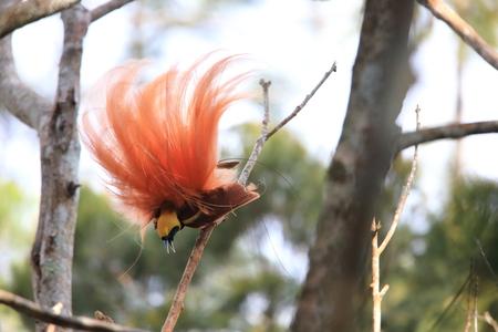 Raggiana Paradiesvogel (Paradisaea raggiana) im Varirata Nationalpark, Papua-Neu-Guinea Standard-Bild - 87702059