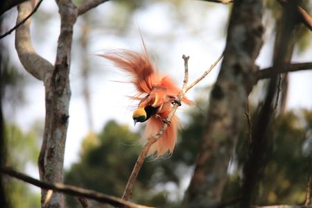 Nuova Guinea: Raggiana Bird-of-paradise (Paradisaea raggiana) in Varirata National Park, Papua New Guinea Archivio Fotografico
