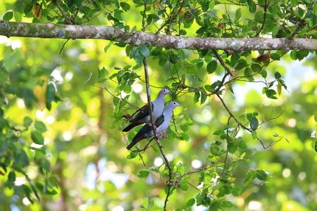 Island imperial pigeon (Ducula pistrinaria) in Manus Island, Papua New Guinea