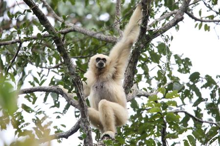 LAR gibbon or white-handed gibbon (Hylobates lar) in Khao Yai National Park, Thailand Stock Photo