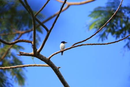 Ultramarine kingfisher (Todiramphus leucopygius) in Solomon Island Stock Photo