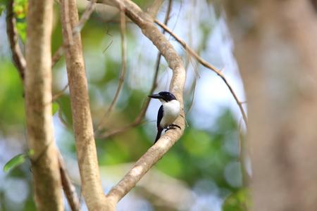 Ultramarine kingfisher (Todiramphus leucopygius) in Solomon Island Stock Photo - 88239610