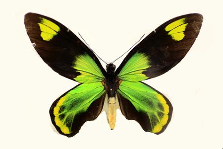 격리 된 빅토리아 여왕의 birdwing (Ornithoptera victoriae)
